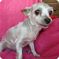 Maltese Dog for adoption in Crump, Tennessee - Kalvin .