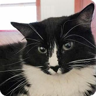 Domestic Mediumhair Cat for adoption in Prescott, Arizona - Chloe