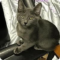 Adopt A Pet :: Chaucer Manfred Manx - Austin, TX
