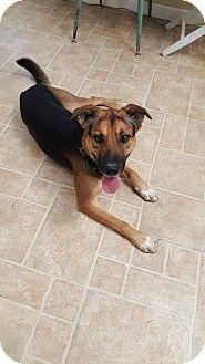 German Shepherd Dog/Border Collie Mix Dog for adoption in Cody, Wyoming - Bentley