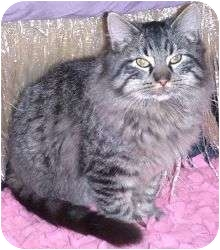 Maine Coon Cat for adoption in Andover, Kansas - Captain Courageous
