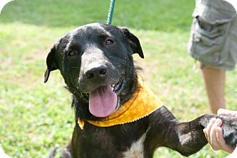 Labrador Retriever Mix Dog for adoption in Houston, Texas - Shiloh