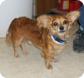 Chihuahua Mix Dog for adoption in Lockhart, Texas - Buster Brown
