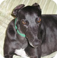 Greyhound Dog for adoption in Tucson, Arizona - Taylor