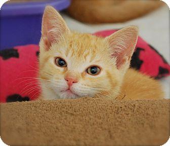 Domestic Shorthair Kitten for adoption in Trevose, Pennsylvania - Manilla