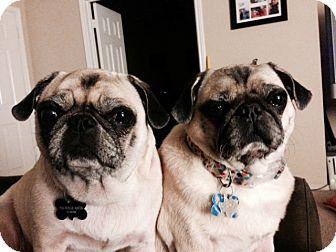 Pug Dog for adoption in Austin, Texas - Maddie