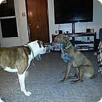 Adopt A Pet :: Beau - Bloomsburg, PA