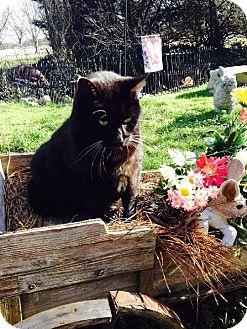 Domestic Shorthair Cat for adoption in Centerville, Georgia - Alex
