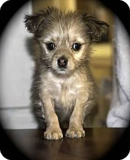 La Habra Heights Ca Yorkie Yorkshire Terrier Pomeranian Mix Meet Nibblet A Puppy For Adoption