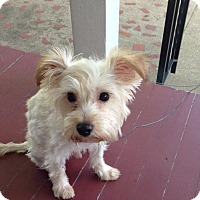 Adopt A Pet :: Falcor - Sinking Spring, PA