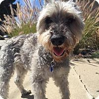 Adopt A Pet :: Olaf - El Cajon, CA