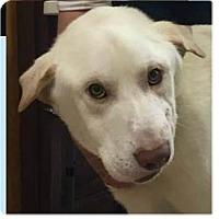 Adopt A Pet :: Tony Montana - Springdale, AR