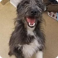 Adopt A Pet :: Cloudy - Aurora, CO