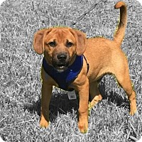 Adopt A Pet :: Junior - puppy playtime! - Columbia, MD