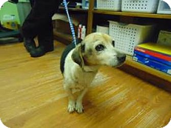 Beagle Mix Dog for adoption in Quentin, Pennsylvania - Patti is a Sweetheart!