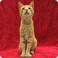 Domestic Shorthair Cat for adoption in Redwood Falls, Minnesota - Tyson