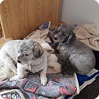 Havanese/Poodle (Miniature) Mix Dog for adoption in Surrey, British Columbia - Gege