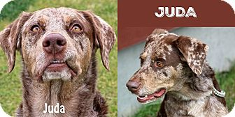 Catahoula Leopard Dog Mix Dog for adoption in Idaho Falls, Idaho - Juda