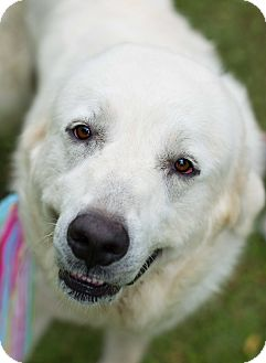 Great Pyrenees Mix Dog for adoption in Glastonbury, Connecticut - Annie