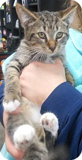 Domestic Shorthair Kitten for adoption in Reston, Virginia - Flip