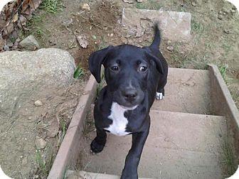 Labrador Retriever/American Staffordshire Terrier Mix Puppy for adoption in wolfeboro, New Hampshire - ERIN