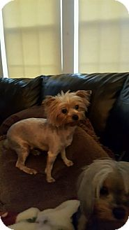Yorkie, Yorkshire Terrier Mix Dog for adoption in Manchester, Connecticut - Missy 1 in CT