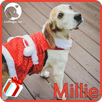 Beagle Dog for adoption in Novi, Michigan - Millie