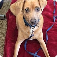 Basenji Mix Dog for adoption in Phoenix, Arizona - Benji