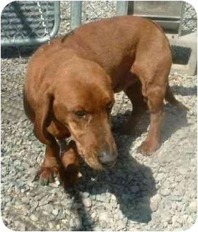 Yoda Adopted Dog Makinen Mn Redbone Coonhound Basset Hound Mix