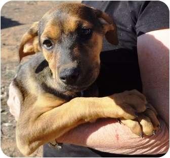 Cali   Adopted Puppy   Nuevo, CA   German Shepherd Dog ...