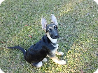 German Shepherd Dog Puppy for adoption in Green Cove Springs, Florida - Titan