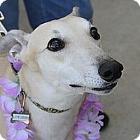 Adopt A Pet :: Lotus - Brandon, FL