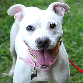 American Pit Bull Terrier/Pit Bull Terrier Mix Dog for adoption in Detroit, Michigan - Blanca