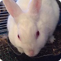 Adopt A Pet :: Bella - East McKeesport, PA