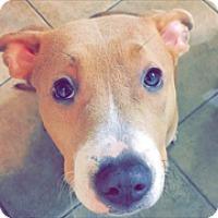 Adopt A Pet :: PENELOPE - Rancho Cucamonga, CA