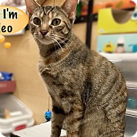 Adopt A Pet :: Cleo - Foothill Ranch, CA