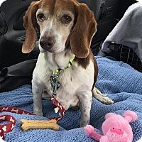 Adopt A Pet :: Shelby - cicero, NY