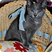 Adopt A Pet :: Silverado (Russian Blue kitten - New Smyrna Beach, FL