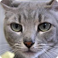 Adopt A Pet :: Mary (a St. Croix kitty) - Alexandria, VA