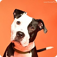 American Pit Bull Terrier Mix Dog for adoption in Blacklick, Ohio - Elsa