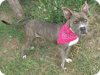 Pit Bull Terrier Dog for adoption in Oklahoma City, Oklahoma - TEVA