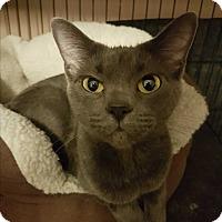 Domestic Shorthair Cat for adoption in Hamilton, Ontario - Char