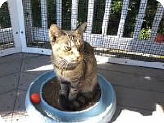Domestic Shorthair Cat for adoption in Kinston, North Carolina - Zilly