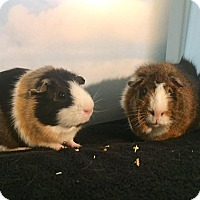 Adopt A Pet :: Brownie and Truffles - Aurora, CO