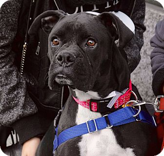 Boxer Mix Dog for adoption in New York, New York - Oreo
