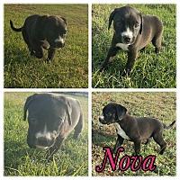 Adopt A Pet :: Nova - New Milford, CT