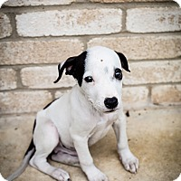 Adopt A Pet :: Petey - San Antonio, TX