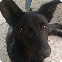 German Shepherd Dog Mix Puppy for adoption in cupertino, California - Dorothea ARRIVES JANUARY 14