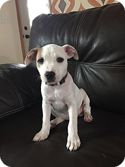 American Pit Bull Terrier Mix Puppy for adoption in DeForest, Wisconsin - Emily Elsa