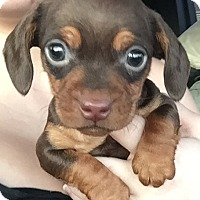 Adopt A Pet :: Chiweenie pups coming 1-31-17 - Pottstown, PA